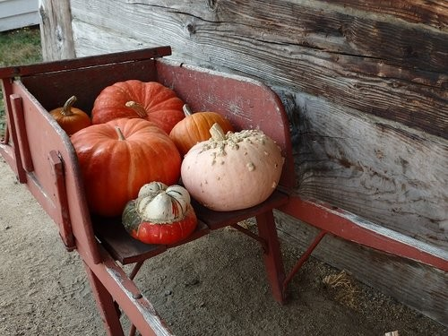 orange pumpkins in red wheelbarrow