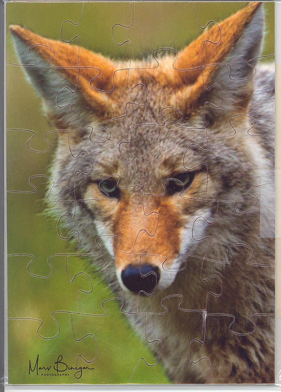 COYOTE Puzzle Postcard by art photographer Marv Binegar